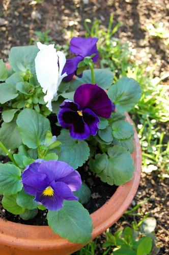 Pansies in February