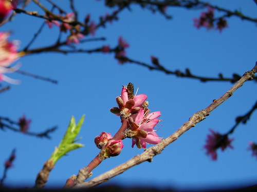 Bee in Peach Blossom