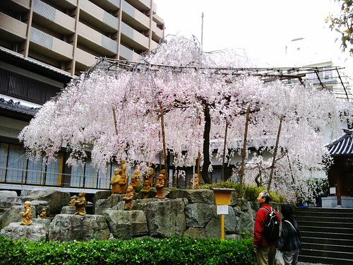 Cherry blossom tree at Rokkaku-do, Kyoto