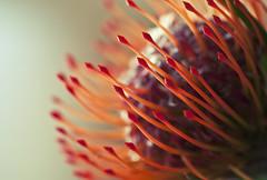 Funky (Brennan Anderson) Tags: flower color macro nature strange lines closeup nikon colorful sigma funky micro traderjoes twincities sigma105mmmacro minneosta mahtomedi nikond90 brennananderson