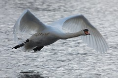 In Flight (dave millers photos) Tags: birds scotland british mute swanriver callander teith thegalaxy abigfave mygearandmepremium mygearandmebronze mygearandmesilver mygearandmegold mygearandmeplatinum flickrstruereflection1 flickrstruereflection2 rememberthatmomentlevel1
