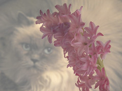 When We Were Innocent (Mona Hura) Tags: pink blue light white cat hair fur stem eyes kitten soft gulf florida blossom background innocent kitty pale we sabre when bloom were delicate breeze hyacinth panhandle himalayan 8955c