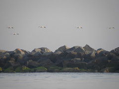 16 Synchronized Soaring Pelicans (Glass Bead Game Master) Tags: sunrise easter kayak paddle charles kayaking davidt