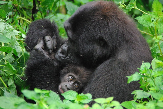 Mountain Gorilla's of Bwindi Impenitrable Forest