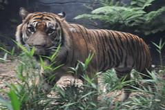 Taroonga Zoo (private miguev) Tags: animal mammal zoo tiger sydney australia nsw newsouthwales sumatrantiger oceania pantheratigrissumatrae taroongazoo