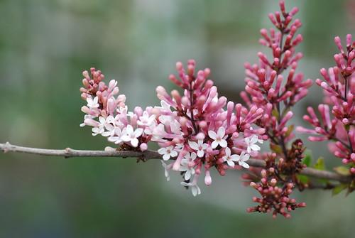 Pink lilacs
