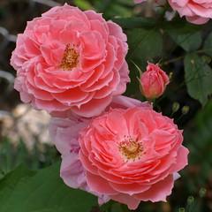 pinkweedroses