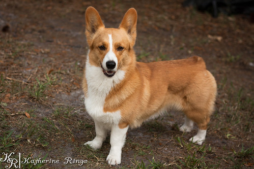 Corgi-BY-Play-9448