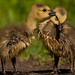 Goslings: Learning what to eat