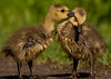 Goslings: Learning what to eat (mbaglole) Tags: baby lake canada nikon mud sb600 goose 300mm tele gosling canadiangoose nikkor nepean f4 teleconverter canadagoose afs babygoose d90 nikonsb600 tc14e nikon300mm nikon300mmf4 nikond90 nikonteleconverter nikon14x mudlakenepean TGAM:photodesk=victoriaday11