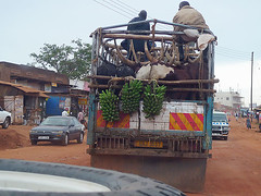 Ankole Cattle Truck, Kampala, Uganda