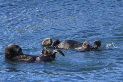 Morro Bay Sea Otters (2) (Bob Palin) Tags: california blue sea 15fav usa water animal 510fav otter morrobay seaotter 100vistas instantfave canonef70300mmf456isusm canoneos60d orig:file=2013122614989