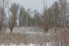 IMGP5472 (Henk de Regt) Tags: bos sneeuw natuur bomen riet landschap oerbos nederlandsenatuur beekbergerwoud klarenbeek veluwe forest snow nature trees reeds landscape virginforest dutchnature