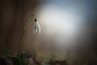 First Snowdrops (Galanthus)