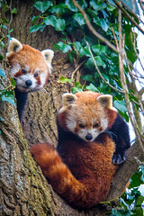 Red Pandas (JKmedia) Tags: boultonphotography 2017 red pandas herbivore animal stripes stripy tail tree climb pair two 2 cheeky cute newquay zoo newquayzoo 15challengeswinner