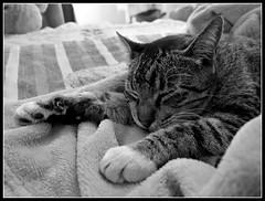 Hoy amaneci con flojerita (MaPeV) Tags: morris bellolindoguapetón gatos cats chats kawaii felin neko gatti gattini gattoni tabby chat katze gato kitty tabbyspoted powershot canon g16 blanco y negro black white