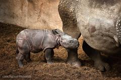 Baby rhino in Blijdorp (Marc Haegeman Photography) Tags: rhino indianrhino diergaardeblijdorp blijdorp rotterdam babyanimals mammals zoo neushoorn nikon marchaegemanphotography cute rhinocerosunicornis animal rhinoceros