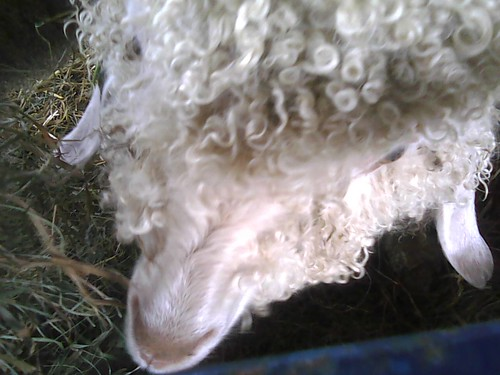 Angora goat...Where mohair comes from! #rhinebeck