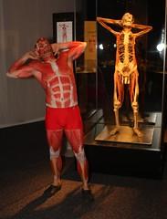 Body Worlds 2: Mr Anatomy 357 (Darryl W. Moran Photography) Tags: philadelphia paint philly bodyart bodyworlds franklininstitute plastination gunthervonhagens medicalillustration darrylmoranphotography