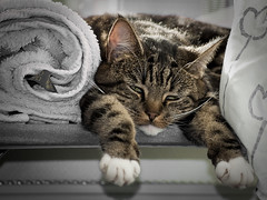 Doing the laundry tires me! (Kim Ledin) Tags: cat sleep towel vila laundry rest katt smilla sova handduk tvtt