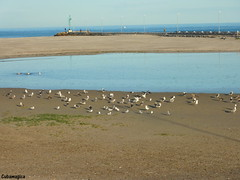 Gaviotas, playa de la Rapadoira Foz (cubamagica) Tags: espaa galicia galiza turismo lugo foz playas restaurantes pescados mariscos acantilados cubamagica panasoniclumixdmctz7 playadelarapadoira fotosdefoz