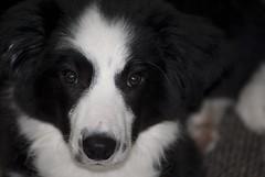 Close up Indi (fotoham) Tags: dog bordercollie pup indi