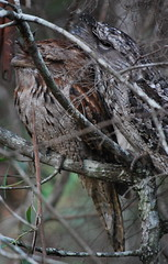 tawny frog 4 (tkmckinn) Tags: birds australia july09