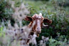 hola? (Objetivo86) Tags: bw blancoynegro eos europa sigma sierra 300mm cadiz roxa animales sonrisa sabado cabra cuernos tarifa vaca canos salvajes montesa tudanca canon450d cristinaprieto objetivo86