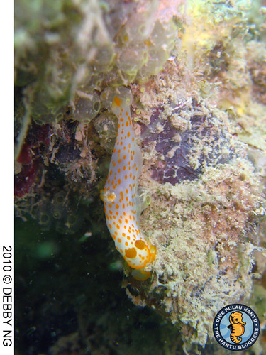 gymnodoris 2