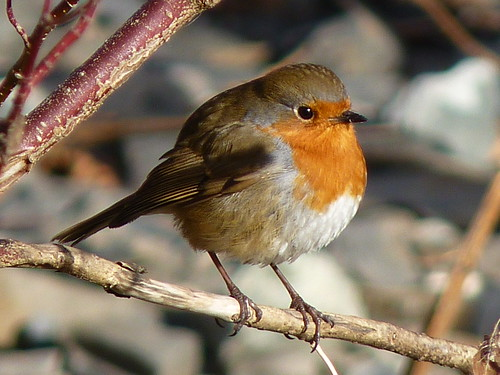 coniston robin