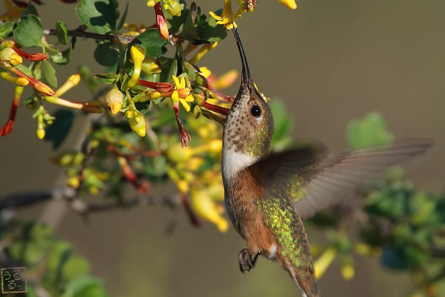 Allen's Hummingbird 02101-115