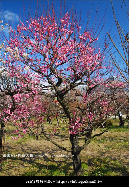 【via關西冬遊記】大阪城天守閣!冬季限定:梅園梅花盛開12