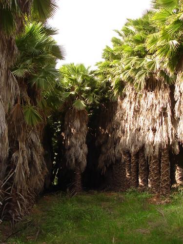 Date palm grove 2