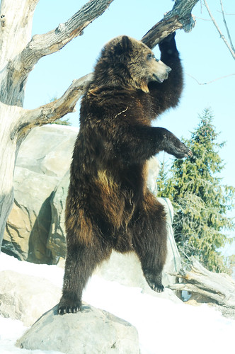 MN zoo brown bear dance