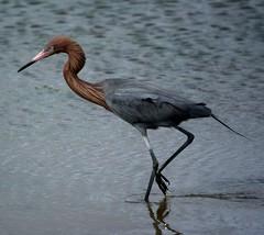 Reddish Egret: Bolsa Chica Wetlands