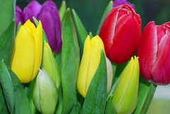Tulips ( Angel of light ) Tags: flowers red white plant flower green yellow 50mm spring rainbow nikon purple tulips bright seasonal explore getty bouquet gettyimages licenced 14g explored d80 angeloflight2009 licencedbygetty welcomeuk