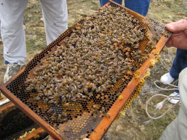 beekeeping 046 (600 x 450)
