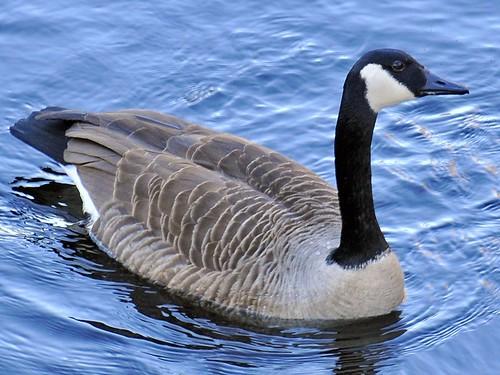 canada goose sudbury river