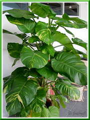 Potted Epipremnum aureum 'Golden Pothos' with very large leaves, at a garden centre
