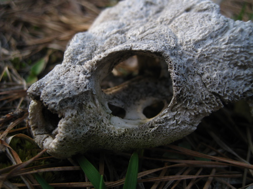 Snapping Turtle Skull