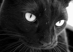 BlACK CAt eyeliner (nereis*01*) Tags: pet cats pets white black closeup cat blackcat feline whiskers felines jojo blackcats catwhiskers rescuedcat