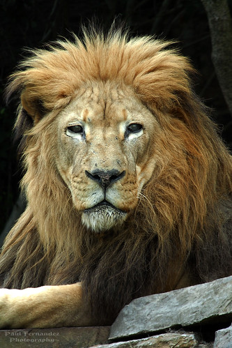 Lion Sits for His Portrait at the Philadelphia Zoo