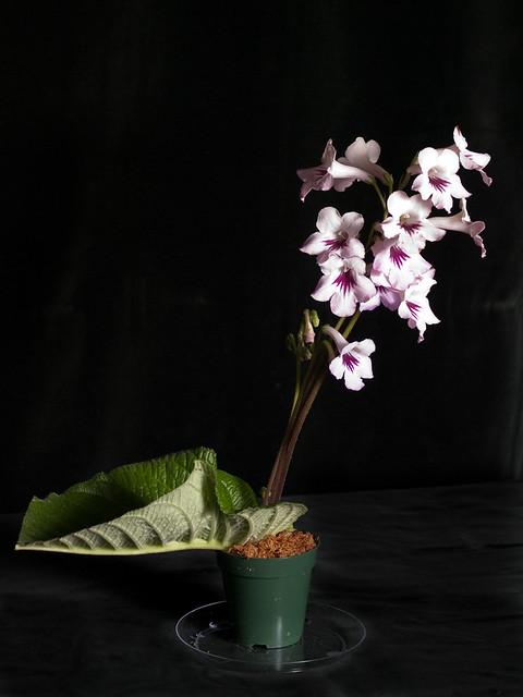 Streptocarpus 'Cape Essence'