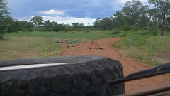 Lion pride on road at South Luangwa