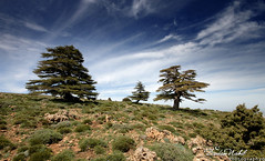 The Cedar (Tichrirt, Algeria) [ EXPLORED ! ] (zedamnabil) Tags: mountain tree nature montagne landscape algeria wideangle cedar vegetation algerie paysage arbre sigma1020mm cdre canon500d grandangle batna raselaioun tichrirt guetiane