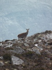 Red Deer On Arkle (Derbyshire Harrier) Tags: scotland highlands doe sutherland hind reddeer arkle glacialmoraine