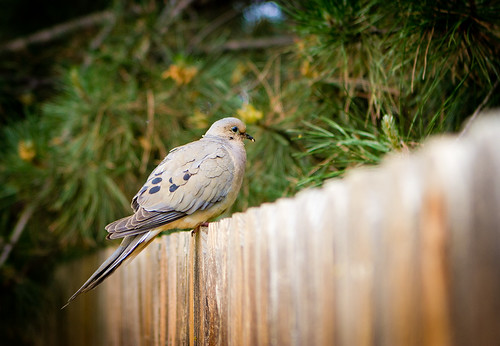 Morning Dove: 35.365 #TeamPhotoBlog by dhgatsby