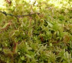 Drosera rotundifolia auf Sphagnum-Bult, NGIDn1800415252 (naturgucker.de) Tags: deutschland mecklenburgvorpommern rgen naturguckerde cmanuelgoerke ngidn1800415252