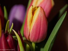 Amongst Friends (David S Wilson) Tags: uk flowers england ely fens 2014 flowersplants davidswilson lightroom5 olympusomdem5 leicadgmacroelmarit12845asphlens