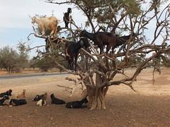 Arganiers dans la Vallée du Souss (وادي سوس) (twiga_swala) Tags: argania spinosa ⴰⵔⴳⴰⵏ argan chèvres goats arganiers trees vallée souss valley maroc morocco landscape du وادي سوس scenery